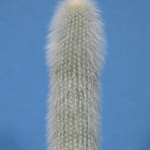 Cleistocactus straussii
