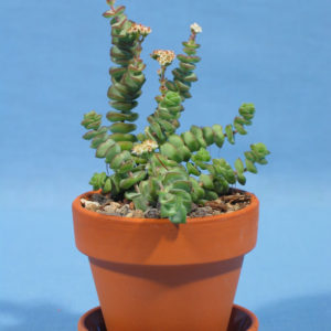Crassula hottentott