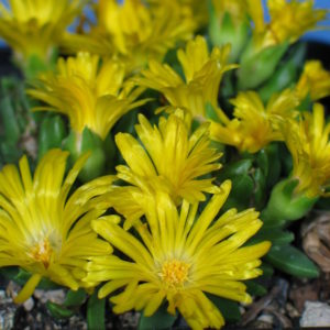 "Delosperma ""Golden Nugget"""
