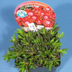 "Delosperma ""Red Fire"" rot"