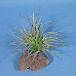Tillandsia Houston (stricta x recurvata)