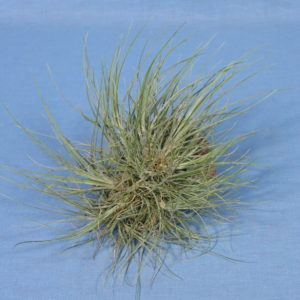 Tillandsia bartramii Wireball