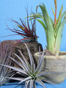 Tillandsia-Arrangement