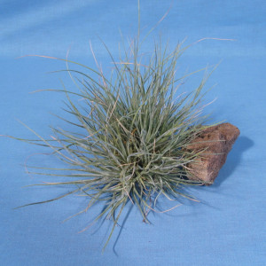 Tillandsia-bartrami